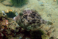 Stephanolepis cirrhifer, Thread-sail filefish: fisheries