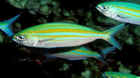 Caesio varilineata, Variable-lined fusilier: fisheries, bait