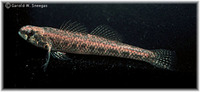 Etheostoma proeliare, Cypress darter: