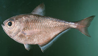 Pempheris oualensis, Silver sweeper: fisheries, aquarium