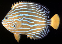 Chaetodontoplus septentrionalis, Bluestriped angelfish: aquarium