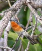 Broad-billed Monarch - Myiagra ruficollis