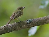 Olivaceous Flatbill (Rhynchocyclus olivaceus) photo