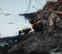 Yellow-collared Lovebird - Agapornis personatus