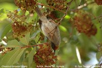 Chestnut-throated Apalis - Apalis porphyrolaema