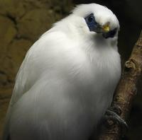 Bali Myna - Only a few of these in the world! Flickr