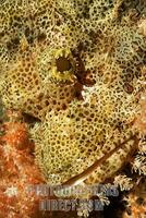 Tassled scorpionfish ( Scorpaenopsis oxycephalus ) in a soft coral stock photo