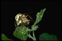 : Macrodactylus sp.; Rose Chafer