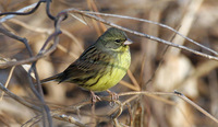 Male Black-faced Bunting Emberiza melanocephala personata