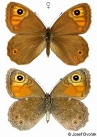 Lasiommata maera - Large Wall Brown