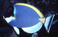 Acanthurus leucosternon, Powderblue surgeonfish: fisheries, aquarium