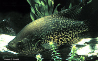 Pomoxis nigromaculatus, Black crappie: fisheries, gamefish, aquarium