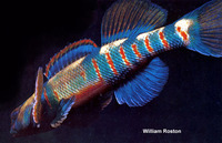 Etheostoma tetrazonum, Missouri saddled darter:
