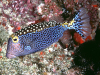 Ostracion meleagris, Whitespotted boxfish: fisheries, aquarium