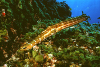 Aulostomus strigosus, Atlantic cornetfish:
