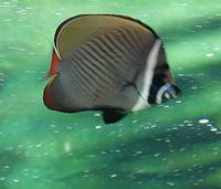 Chaetodon collare - Brown Butterflyfish