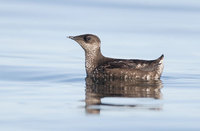 Marbled Murrelet (Brachyramphus marmoratus) photo