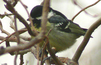 Yellow-bellied Tit - Pardaliparus venustulus