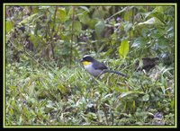 White-naped Brush-Finch - Atlapetes albinucha