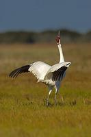 Whooping Crane , Grus americana , Flapping Wings , Total population approx . 300 birds , Aransas...