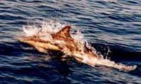 Common Dolphin emmalee tarry