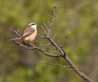 Brown shrike C20D 02589.jpg