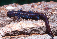: Ambystoma laterale; Blue-spotted Salamander