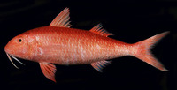 Mulloidichthys pfluegeri, Orange goatfish: fisheries, gamefish
