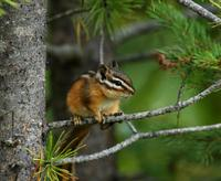 Image of: Tamias minimus (least chipmunk)