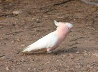Cacatua leadbeateri - Pink Cockatoo