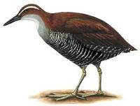 Image of: Gallirallus owstoni (Guam rail)
