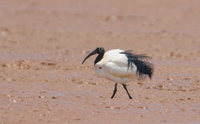 Madagascar Sacred Ibis (Threskiornis bernieri) photo