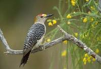 Golden-fronted Woodpecker (Melanerpes aurifrons) photo