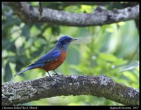Chestnut-bellied Rock-Thrush - Monticola rufiventris