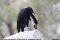 White-winged Chough - Corcorax melanorhamphos