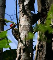 Pale-billed Woodpecker (pair)