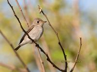 Asian brown flycatcher C20D 03159.jpg