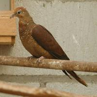Barred Cuckoo Dove Macropygia unchall