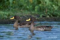 : Anas undulata; Yellow-billed Duck
