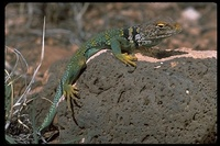 : Crotaphytus collaris; Common Collared Lizard