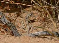 : Ctenophorus maculatus; Spotted Military Dragon