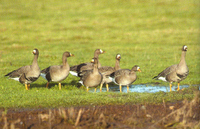 Greenland White-fronted Geese Anser albifrons flavirostris Wexford North Slob, A.J. Walsh