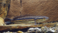 Channa micropeltes, Giant snakehead: fisheries, aquaculture, gamefish, aquarium