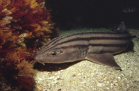 Poroderma africanum, Striped catshark: fisheries, gamefish