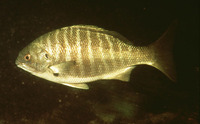 Hermosilla azurea, Zebra-perch sea chub:
