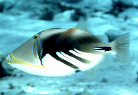 Rhinecanthus aculeatus, Blackbar triggerfish: fisheries, aquarium