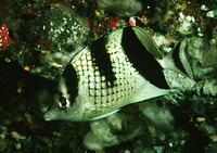 Chaetodon argentatus, Asian butterflyfish: fisheries, aquarium