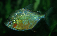 Catoprion mento, Wimple piranha: fisheries, aquarium