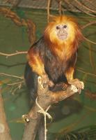 Image of: Leontopithecus chrysomelas (golden-headed lion tamarin)