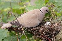 Streptopelia decaocto - Collared Dove